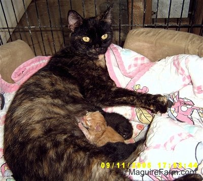 A calico cat inside of a dog crate on top of a pink and white Minnie Mouse blanket nursing a litter of kittens.