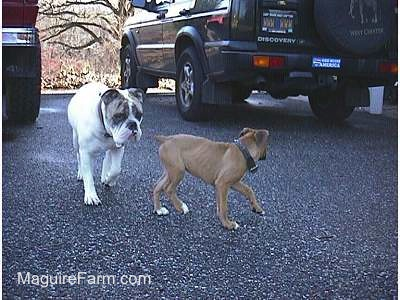 A white with brown brindle Bulldog is following fawn Boxer puppy on a black top. There are two cars in the background, a green Discovery II and a red Toyota 4Runner