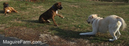 Bruno the Boxer and Henry the Yellow Labrador Retriever playing