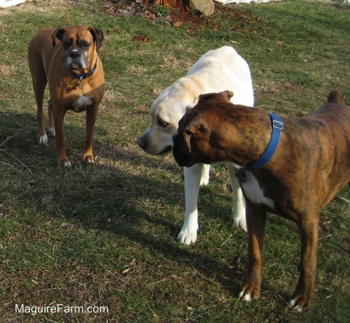 Bruno the Boxer and Henry the Yellow Labrador Retriever playing and Allie starting a fight