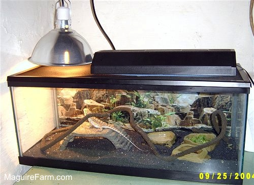 A glass aquarium tank with a bearded dragon lizard inside. There is a heat lamp on the left side, a large stick extending throughout, rock pools and a rock structure in it.