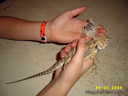 Two human hands - Left hand has bearded dragon's shedded skin in it and the right hand has the lizard in it