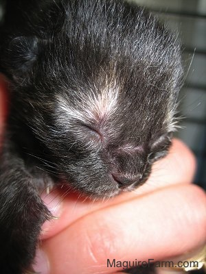 Close up - the face of a newborn black kitten in a person's hand