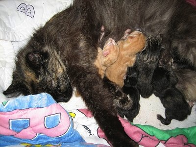 A calico cat nursing her newborn kittens on top of a Barney the Purple Dinosaur blanket.