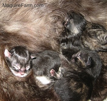A litter of newborn kitten nursning