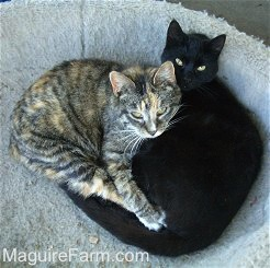 A calico cat with its front paws wrapped around a black cat in a dog bed.