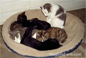 Six cats on a dog bed on a stone porch in front of a white farm house.