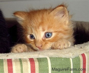 A little orange kitten with bright blue eyes peeking over the top of a green, red and tan striped dog bed.