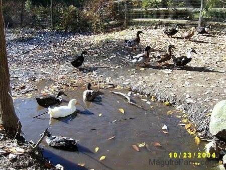 Ducks swimming in the stream