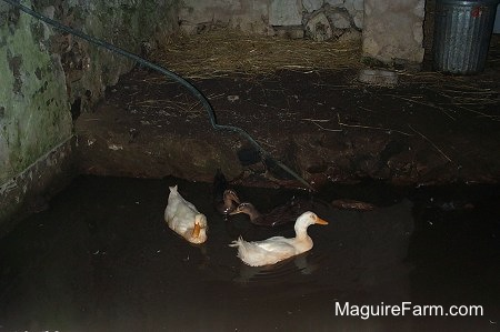 Two white and three black ducks are swimming in water in a an old stone spring house.