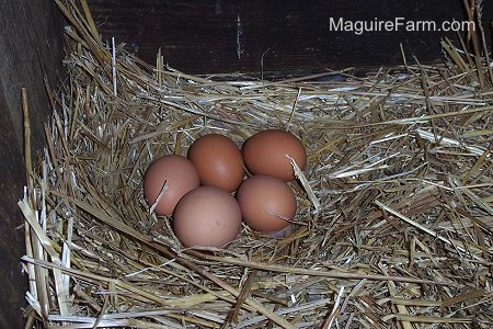 Five freshly layed eggs laying in a nest of hay