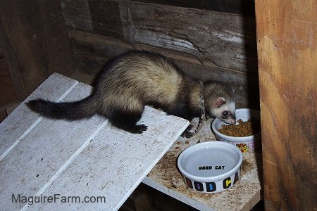 A ferret is eating cat food out of a food dish with a ceramic water bowl next to it that says 'good cat' written in black letters on the bottom of the bowl on a wooden shelf inside of a barn stall.