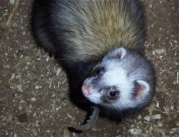 Close Up - A black, tan and white ferret is laying in dirt looking to the left. It has a brown leather collar on