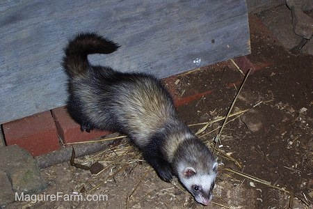 A ferret begins to explore the dirt area around the chicken coop stall