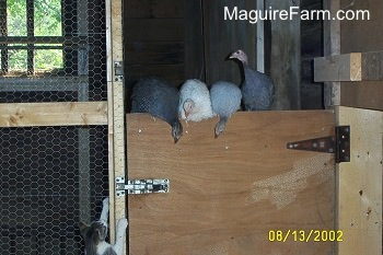 Four guinea fowl are on top of a wooden door. There is a grey and white cat trying to claw get at them
