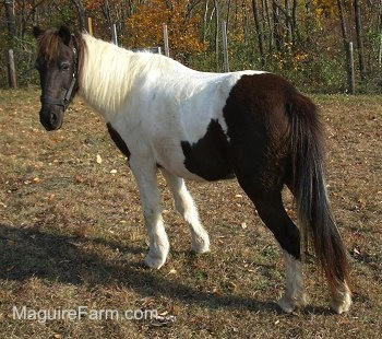 A white and brown paint pony is standing in a field