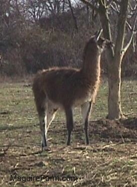 A brown with white llama is standing next to a thin tree