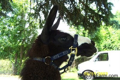 Close Up - The head of a black with white llama wearing a halter under a pine tree. There is a white van in the background