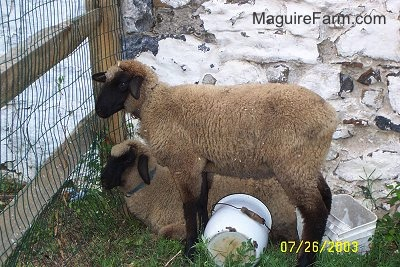 Two sheep in front of a split rail fence. One is laying down and the other is standing. They are next to a stone wall. There is a metal bucket and a plastic bucket under and behind them.