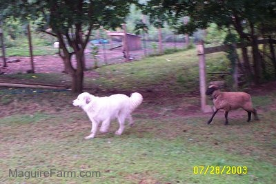 A sheep is chasing a white Great Pyrenees dog in a yard with a chicken coop in the distance.