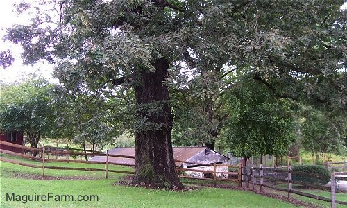 The base of a large white oak tree is in front of a split rail wooden fence. There is an old springhouse behind it