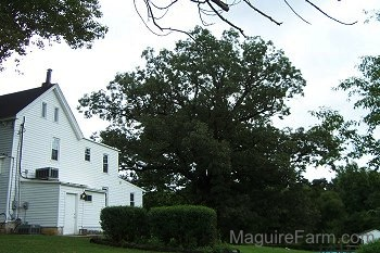 A large white oak tree is standing to the right of a white farm house. In the Foreground, there are two bushes