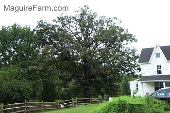A large white oak tree is standing tall next to a white farm house. The tree is taller than the three story home.