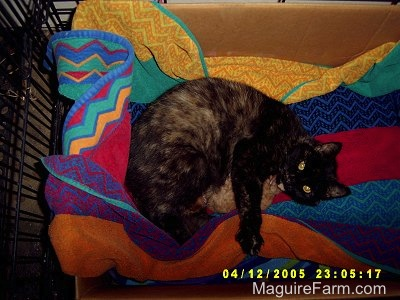 A calico cat laying on a colorful towel in a cardboard box inside of a dog crate nursing her kittens looking content.