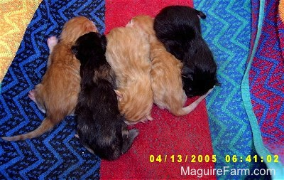 A litter of 5 kittens lined up in a row on a colorful towel. Three are orange and two are black.