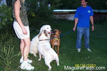 A white Great Pyrenees is sitting in a field next to a white with tan Bulldog who is licking its face. There is a fawn boxer dog standing next to the Great Pyrenees and a man and lady holding the Great Pyrenees and the Bulldog on leashes
