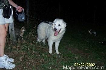 A Great Pyrenees is being taken on walk. His mouth is open and tongue is out. There is a cat looking at the Great Pyrenees. There are two other cats on the right side of the image with their eyes glowing in the dark