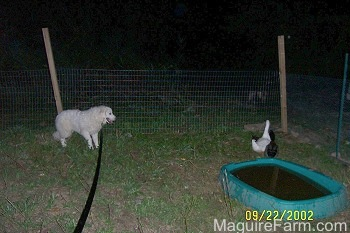 A Great Pyrenees is standing next to a fence and staring at Three Ducks.There is a pool of water behind the ducks