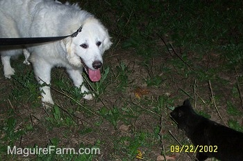 A Great Pyrenees is standing in a field with its mouth open and tongue out. It is looking at a black cat who is across from him