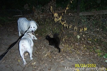 A Great Pyrenees is looking at a white Bulldog walking down a dirt path. There is a black cat walking towards the Great Pyrenees