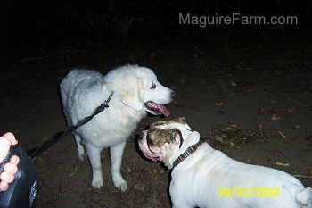 A Great Pyrenees and a Bulldog are standing face to face on a dirt path