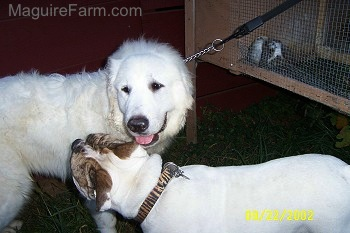A Great Pyrenees is standing next to a Bulldog. The  Bulldog is inspecting the Great Pyrenees. There is a rabbit hutch behind them.