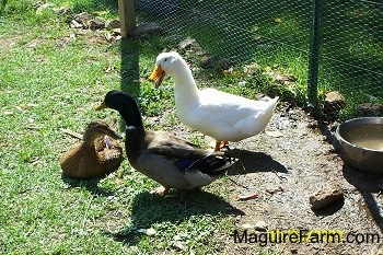 Two ducks, one is white and the other is gree, tan and black, are standing in front of a brown duck laying down. There is a bowl of water behind them
