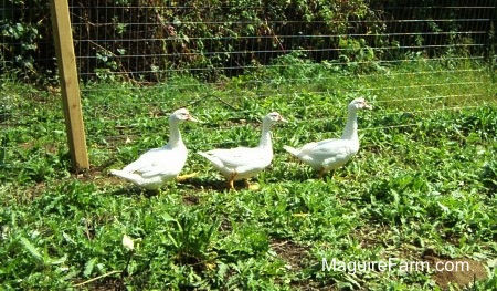 Three white ducks are walking in green weeds in a row across a wired fence line