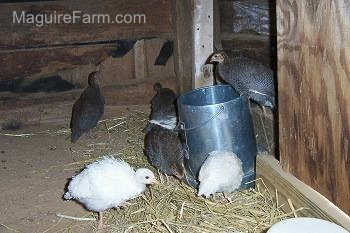 A keet is standing on top of a silver food dispenser while 3 keets peck at the food below. There are other keets standing in front of a wooden wall