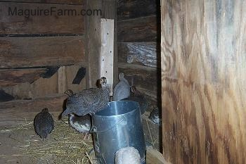 A keet is perched on the food dispenser. In the background, the rest of the keets are standing in the hay.