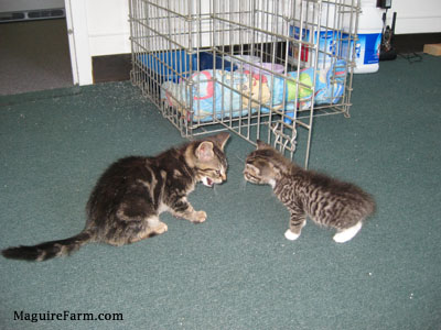 Two tiny kittens on a green carpet face to face with a crate and litter containers behind them.