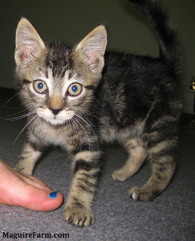 A little tiger kitten standing on a gray carpet with a foot in front if it. The foot has blue painted toe nails.