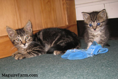 Two tiny tiger kittens on a green carpet next to a wooden cabinet with a blue sock next to them