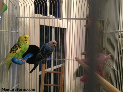 A green and yellow with black parakeet is perched on a blue scratch post and A blue with white and black parakeet is hanging on to the side of the cage.
