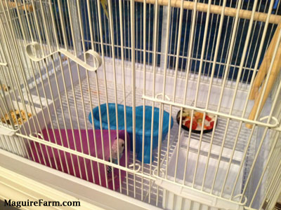 A blue with white and black parakeet is sitting in a purple cup with a blue pool of water in front of it. There is a feed bowl, water bowl and a plate of Vegetables inside the white cage.