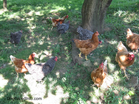 Ten Chickens are laying and walking under the shade of a tree