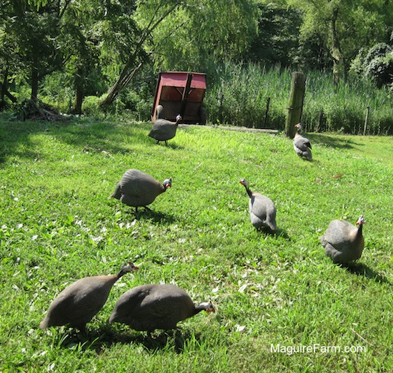 Seven gray guinea fowl eating and walking in a yard. There is a red cart in the background.
