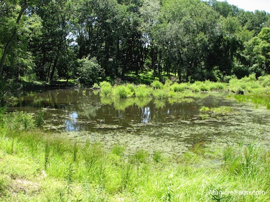 A summertime view of a pond containing algae and woods surrounding it