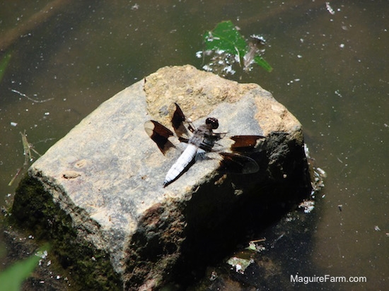 a dragonfly sitting on a rock in a pond