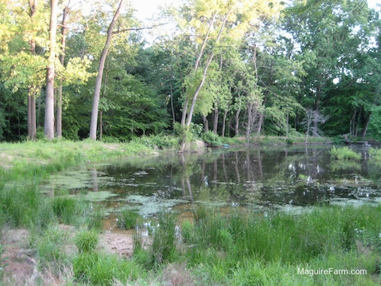 a pond with woods surrounding it in the summertime